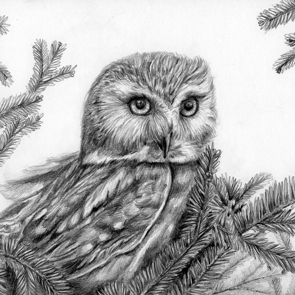 "Saw Whet Owl - Original pencil illustration - 8""x10"" in protective sleeve $150"