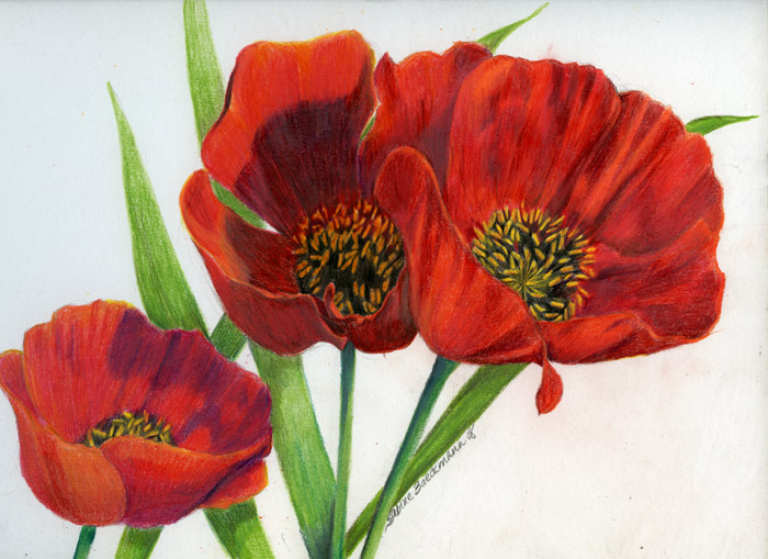Red Poppies, original colored pencils