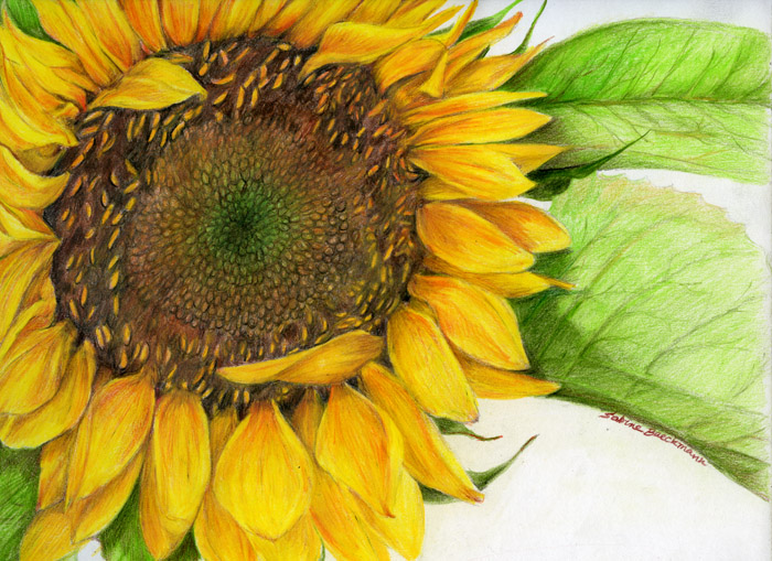 Sunflower, original color pencil
