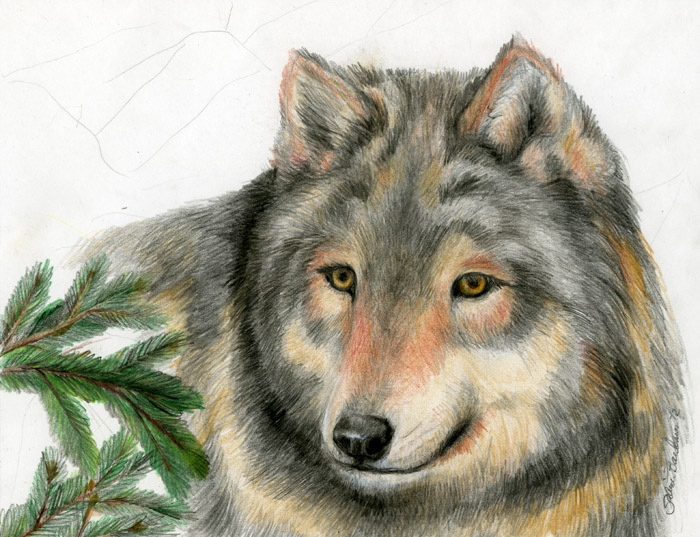 Timber wolf, original colored pencil